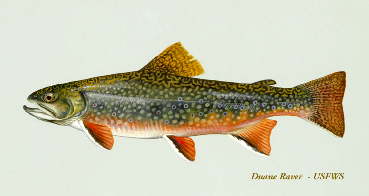why yy males using hatchery brook trout to eliminate an invasive