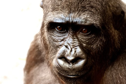 Recycling Old Cell Phones to Benefit Gorillas – envirobites